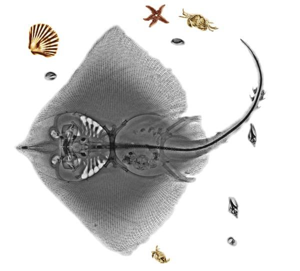 Foto rayos X de una manta raya