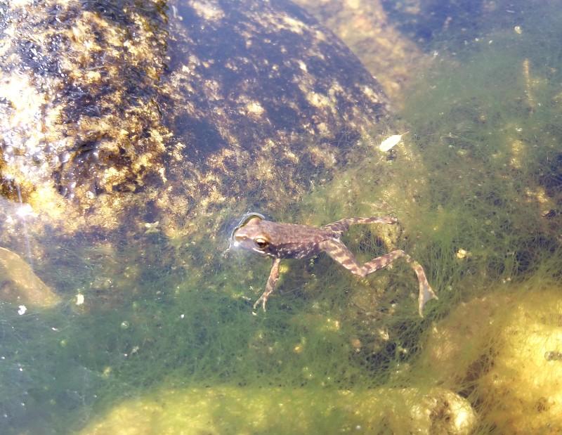 Observar bichos en el río, una rana nadando en el agua