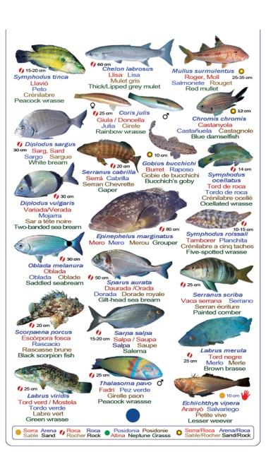 Table de peces que puedes ver en el mediterraneo buceando o haciendo snorkle
