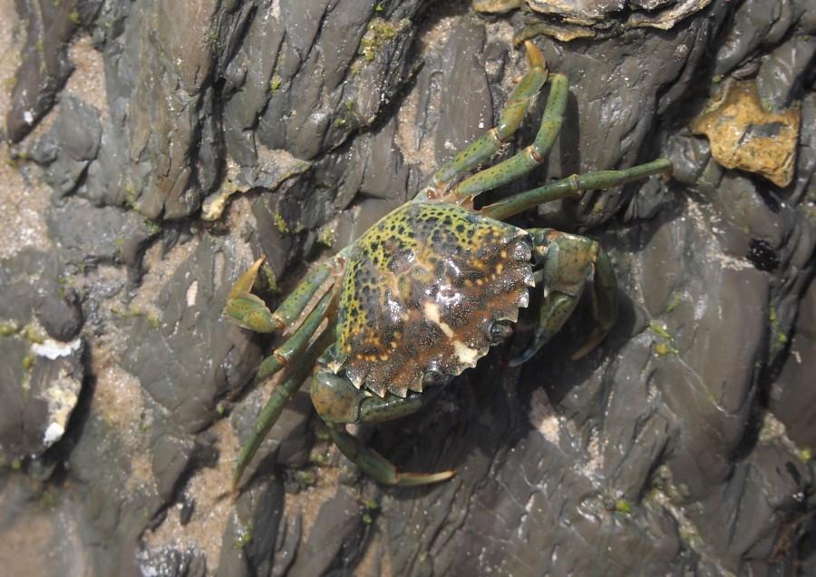 Cangrejo en las rocas descubierto