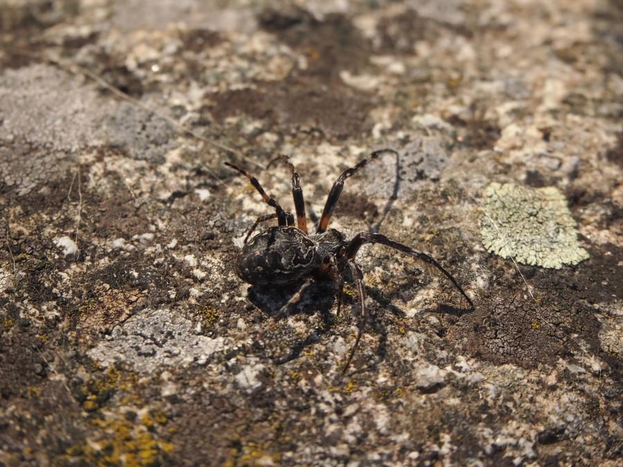 Araña en una piedra