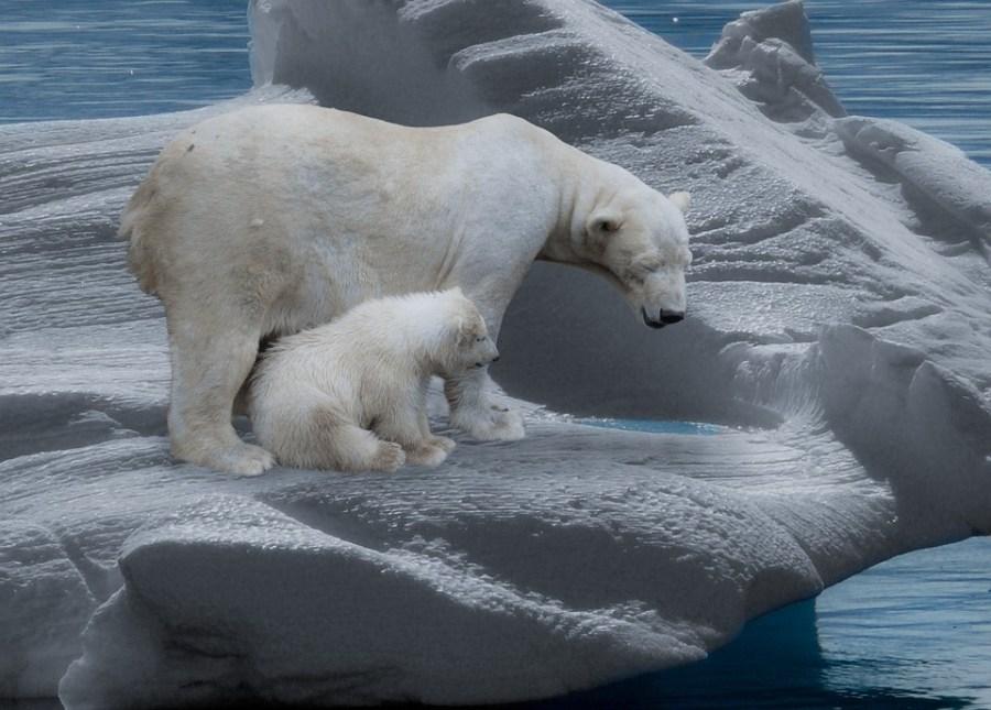 Osa polar con un osezno en el hielo