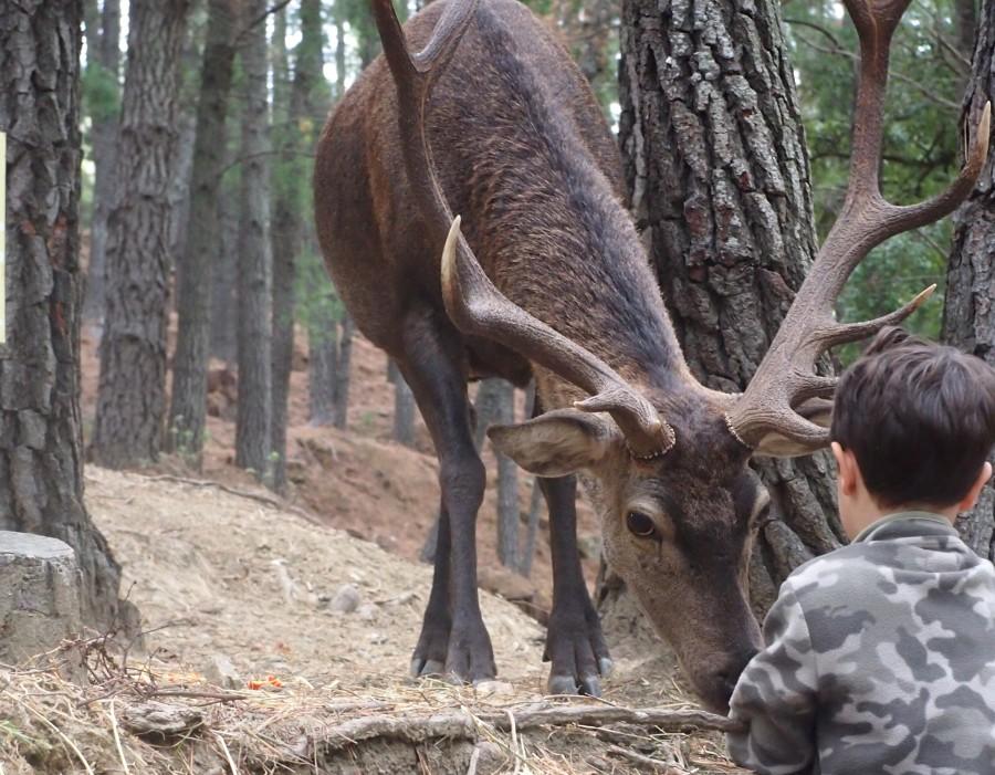 Niño dando algo con la mano a un ciervo macho de gran cornamenta