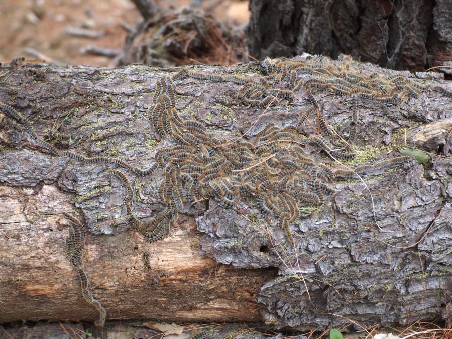 Invasión de procesionaria en un tronco