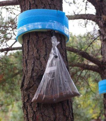 Trampas para oruga procesionaria hechas con espuma y un tubo y pegadas al tronco de un árbol