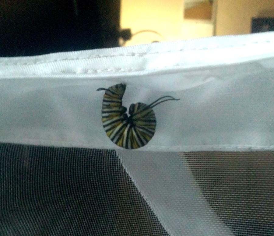 Oruga de monarca colgandose para empezar la transformación