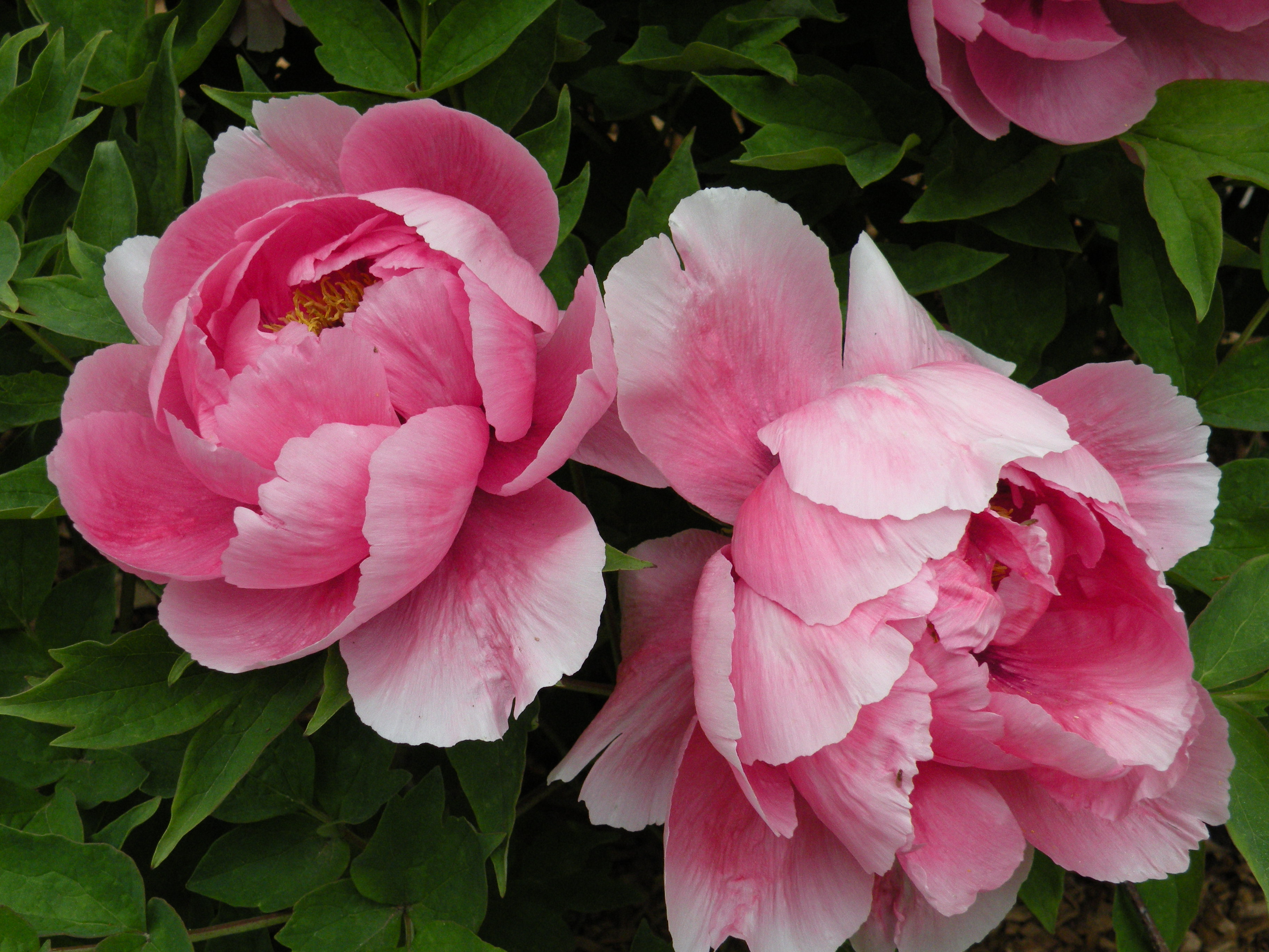 Chinese Peony Poems     Cricket Hill Garden Visit