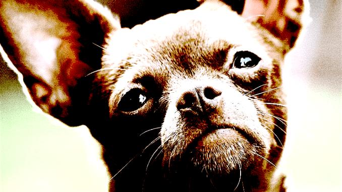 chihuahua ontvoering italie, chihuahua gestolen