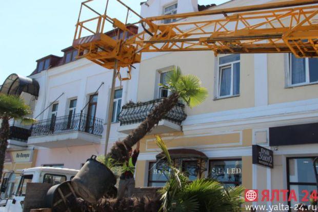 Набережная Ялты пополнилась тремя пальмами