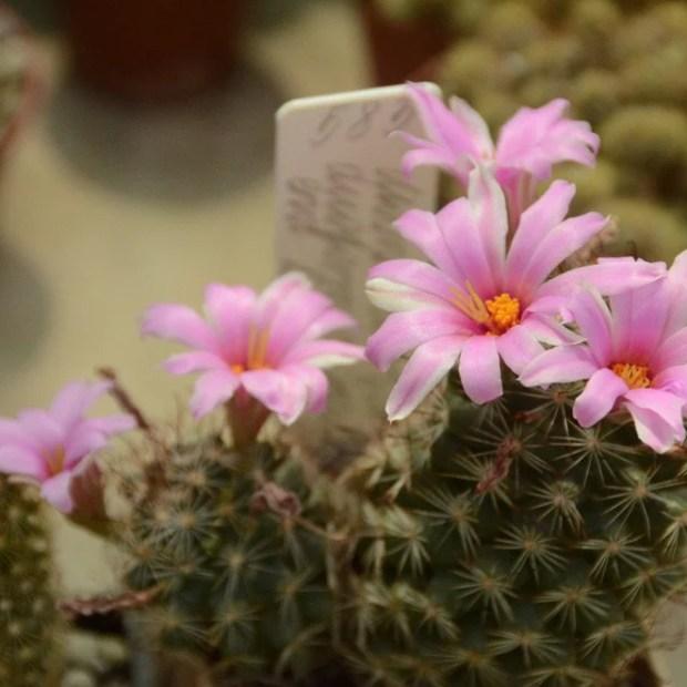 Никитский ботанический сад и кактусы: «колючая», но трепетная дружба