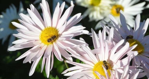 Бал хризантем в Никитском ботаническом саду откроется 29 октября