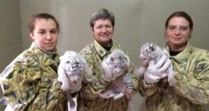 В ялтинском зоопарке «Сказка» родились трое белых бенгальских тигрят