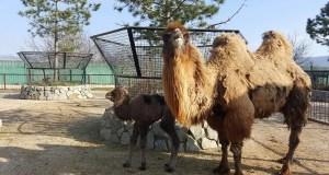В сафари-парке «Тайган» пополнение: на свет появился маленький верблюжонок