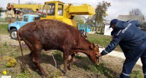 В Белогорском районе в колодец провалилась... корова