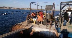 На озере Донузлав - выпуск молоди устриц