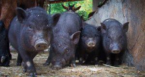 У владельца парка львов «Тайган» Олега Зубкова отберут свиней