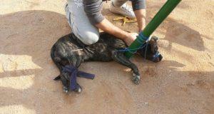 ЧП в Севастополе: бойцовская собака на детской площадке искусала ребёнку