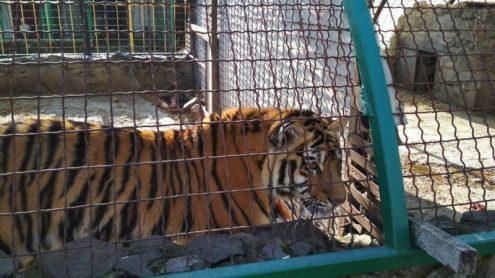 Одиночный пикет в защиту тигренка