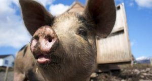 В Крыму зафиксирована очередная вспышка африканской чумы свиней