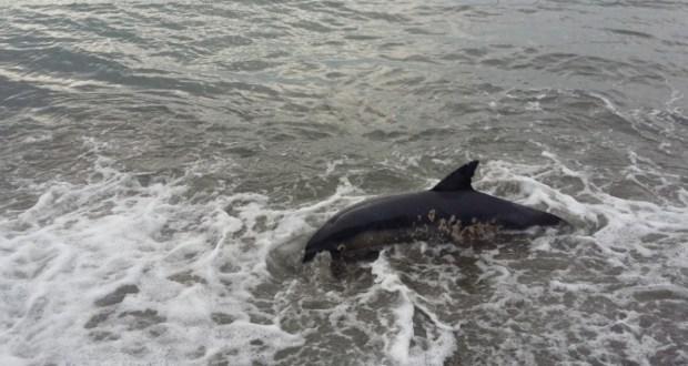 Крымские ученые занялись изучением причин выбросов на берег черноморских дельфинов