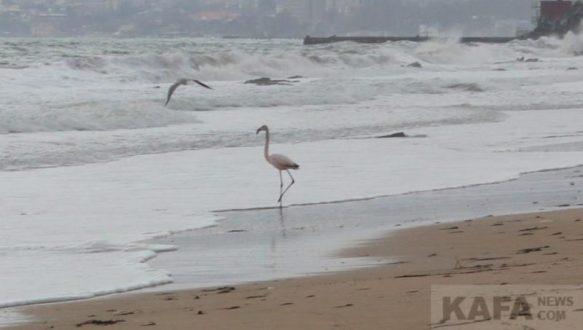 В Феодосии на пляже замечен розовый фламинго. Тот самый «дитя заката»