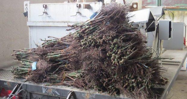 Россельхознадзор: в Крыму сожгли 160 тысяч саженцев винограда из Италии