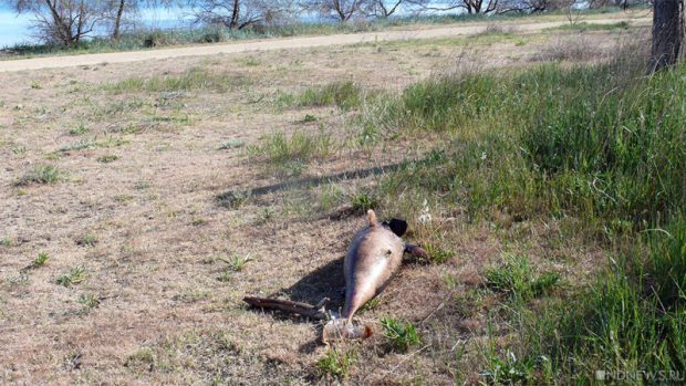 В Крыму массово гибнут дельфины. Погибших животных уже более 50