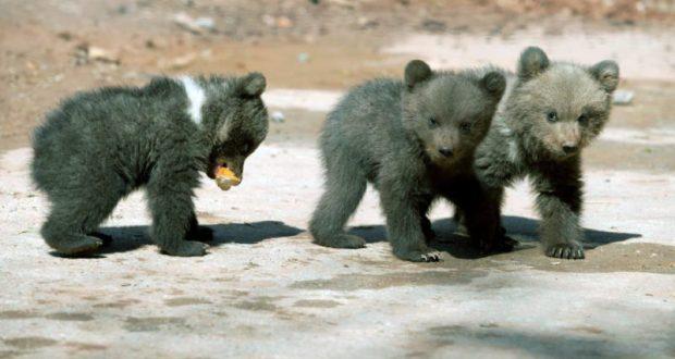В крымском сафари-парке «Тайган» пополнение – трое медвежат