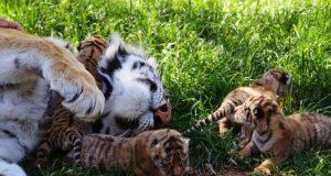 В сафари-парке «Тайган» пополнение: родились тигрята