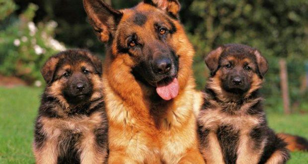 Управление МВД по Симферополю закупит пять служебных собак за 280 тысяч рублей