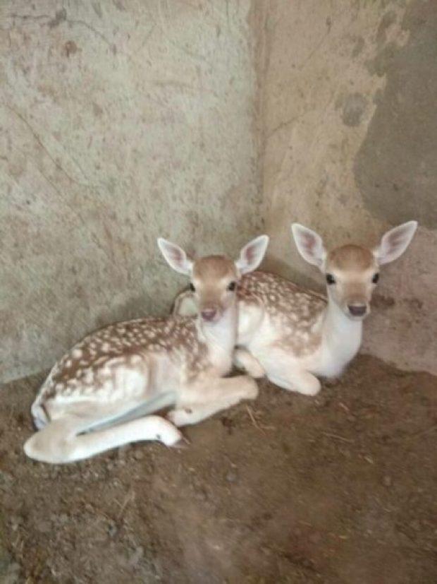 """""""Гарем"""" ланей в Бахчисарайском зоопарке превратился в роддом"""