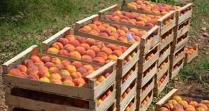 Севастополь хвалится рекордным урожаем фруктов