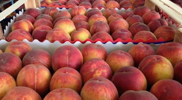 Пять тонн крымских персиков – детям Ленинградской области