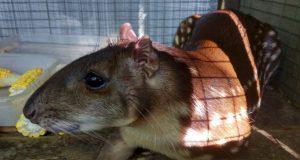 Пака по имени Жужа - новый обитатель Бахчисарайского зоопарка