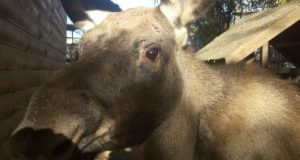 В Бахчисарайском зоопарке поселились симпатичные лосята Пыж и Боня