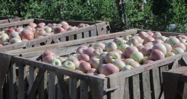 В Севастополе - рекордный урожай яблок