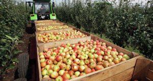 В Крыму подсчитали урожай яблок этого года
