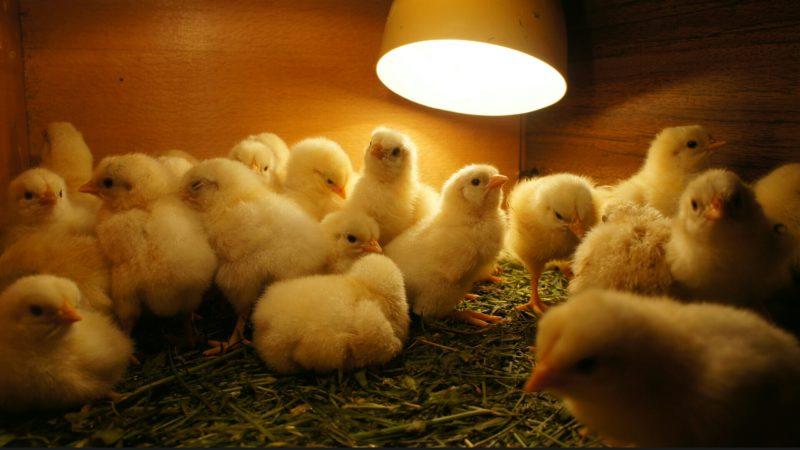 """В Джанкойском районе задержали """"банду"""". Воровали цыплят на птицефабрике"""