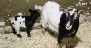 В Алуштинском зоопарке пополнение - стали мамами камерунские козочки