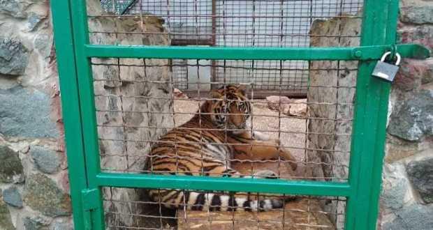 Кто ответит за гибель тигра Алтая в зооуголке симферопольского Детского парка