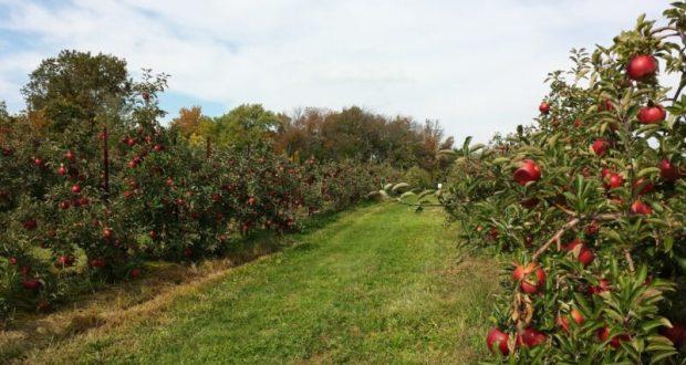 В Крыму начался сбор урожая яблок