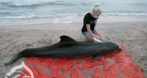И снова мертвые дельфины на берегу Черного моря