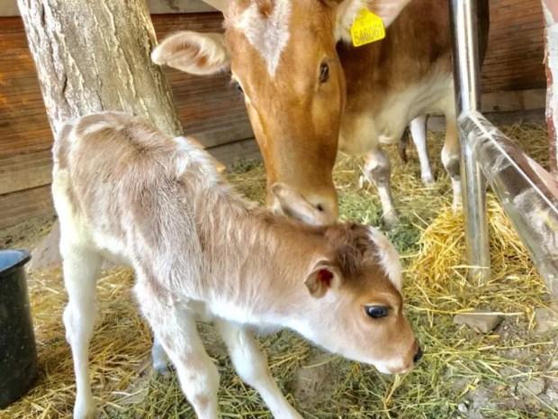 В Бахчисарайском парке миниатюр отмечают рождение малышки Зебу