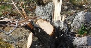 В Крыму браконьеры вырубили свыше 70 деревьев можжевельника