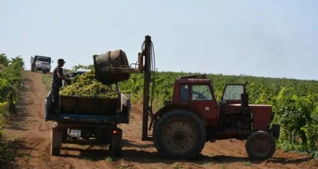В Севастополе собрали рекордный урожай винограда