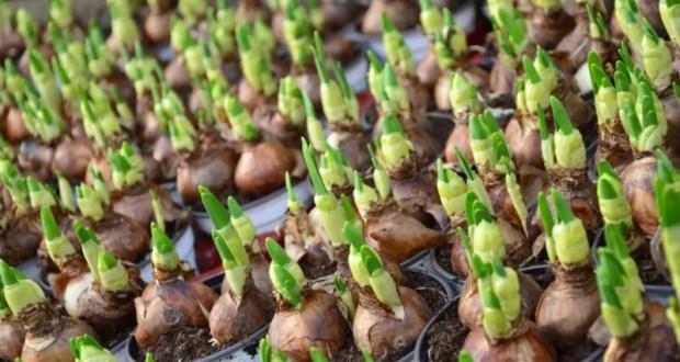 В Севастополе высадят тысячи цветочных луковиц