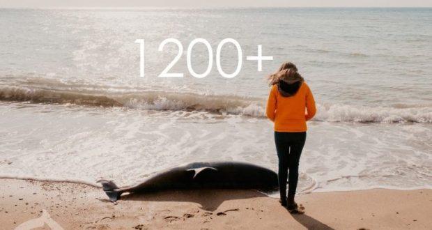 """Центр """"Безмятежное море"""": за 2,5 года зарегистрированы 1200 выбросов краснокнижных дельфинов"""