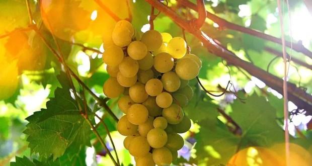 Крымские виноделы получат дополнительные меры поддержки