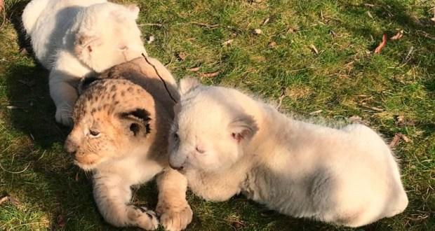 В крымском сафари-парке «Тайган» родились разноцветные львята