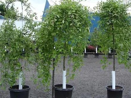 В последний день февраля в Симферополе собираются высаживать деревья
